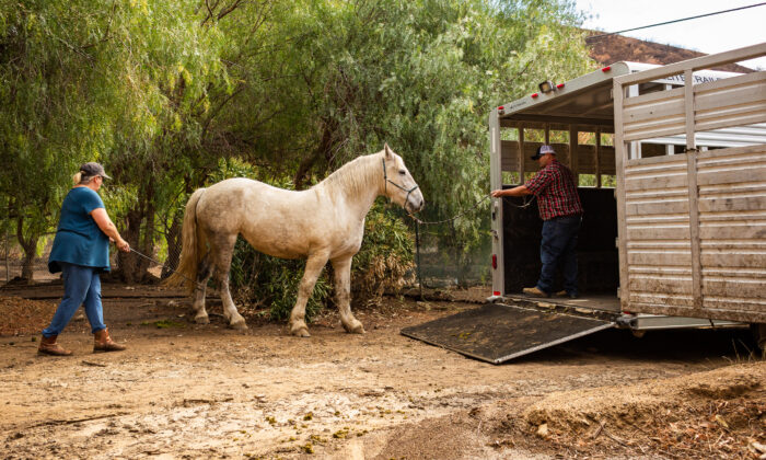 Susan Iwamoto (L) watches her horse walk toward a trailer as residents of Williams Canyon prepare to evacuate in Orange County, Calif., on Jan. 28, 2021. (John Fredricks/The Epoch Times)
