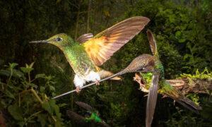 Photographer Captures Once-in-a-Lifetime Moment Rare Hummingbird Hangs on Bird's Beak