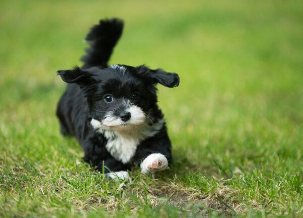 Havanese,Puppy,Dog