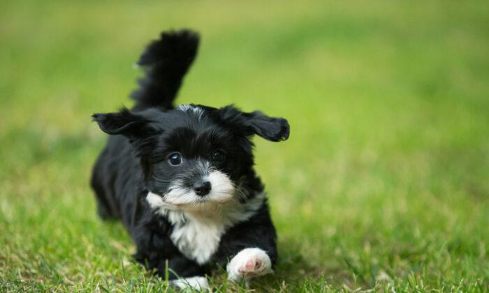 Supposedly hypoallergenic breeds still produce as much allergen as nonhypoallergenic dogs. (Sandra Huber/Shutterstock)