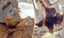 'Extremely Rare': Male Orangutan Steps Up to Care for Daughter, 2, After Mom's Sudden Death