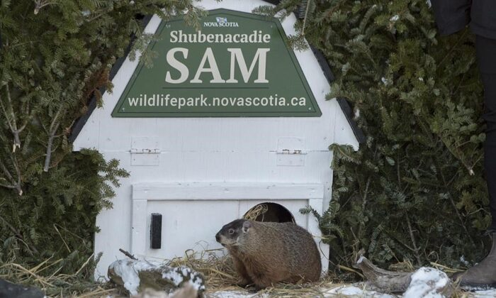 Shubenacadie Sam looks around after emerging from his burrow at the wildlife park in Shubenacadie, N.S. on Feb. 2, 2019. (Andrew Vaughan/The Canadian Press)