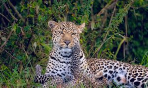 Leopards Escape in a Large Chinese City, Zoo Silent for Over 2 Weeks