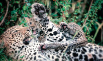 Photographer Captures Annoyed-Looking Leopard Mom With Cub Pouncing and Playing