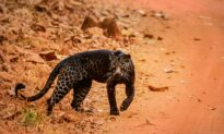 Safari-Goer Spots Extremely Rare Black Leopard in India, and the Photos Are Stunning