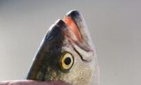 Tasmanian Salmon Exports Swim to New China-Free Markets
