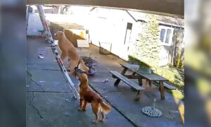 Dog Goes Viral After Security Camera Catches Him Climbing Steep Ladder to Roof by Himself