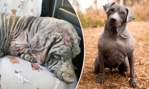 Nearly Dead Dog With 'No Fur, Broken Spirit' Undergoes Transformation After Rescue: Photos