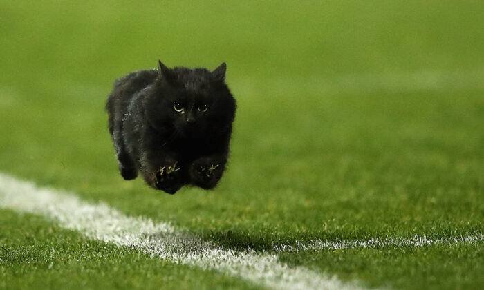 A black cat enters the field of play during the round 18 NRL match between the Penrith Panthers and the Cronulla Sharks at Pepper Stadium on July 10, 2016 in Sydney, Australia.  (Cameron Spencer/Getty Images)