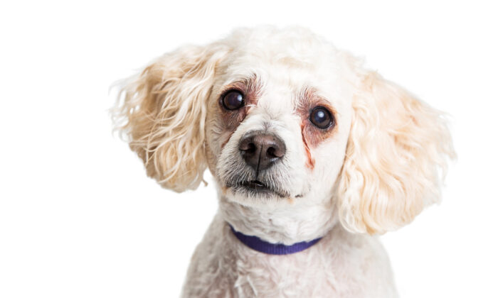 Bronze staining under the eyes of light-colored dogs is not a medical problem but a cosmetic issue. (Susan Schmitz/Shutterstock)