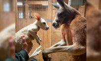 Ultra-Rare White Kangaroo Baby Born in New York Zoo, Possibly the First Ever in US