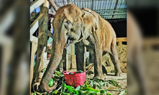 Broken, Injured Elephant 'Waiting for Death' Rescued From the Horrors of Logging Industry