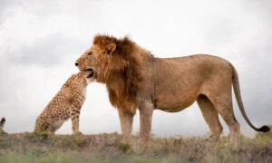 Photographer Catches Lucky Shot of Lion Seemingly With Cheetah's Whole Head in His Mouth