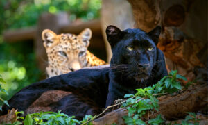 Panthers Are Actually Just Black Leopards With Invisible Spots, but Why Are They So Ultra Rare?