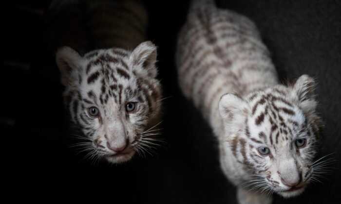 Picture of two newborn white bengal tiger cubs in Yunnan Wildlife Zoo in Kunming, Southern China, on Oct. 12, 2018. (FRED DUFOUR/AFP via Getty Images)