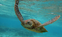 Artificial Intelligence and Traditional Knowhow Saving Sea Turtle Eggs