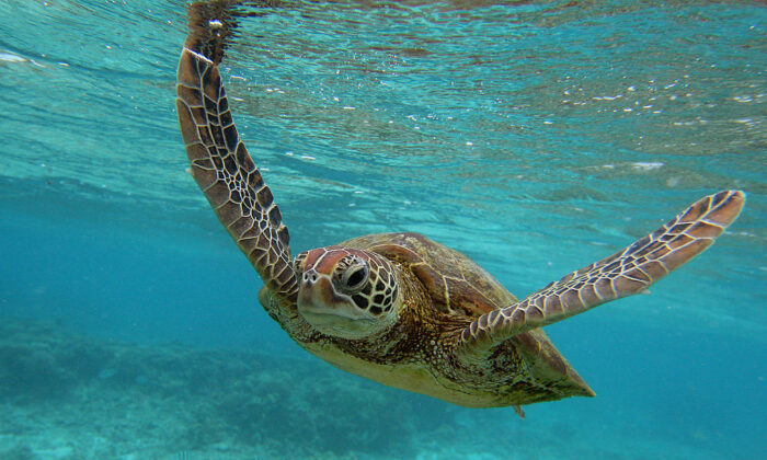 A Hawksbill sea turtle is seen swimming on January 15, 2012 in Lady Elliot Island, Australia. (Mark Kolbe/Getty Images)