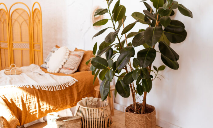 Rubber tree plants, which thrive in bright indirect light and normal indoor temperatures, make nice houseplants. (Ann Bulashenko/Shutterstock)