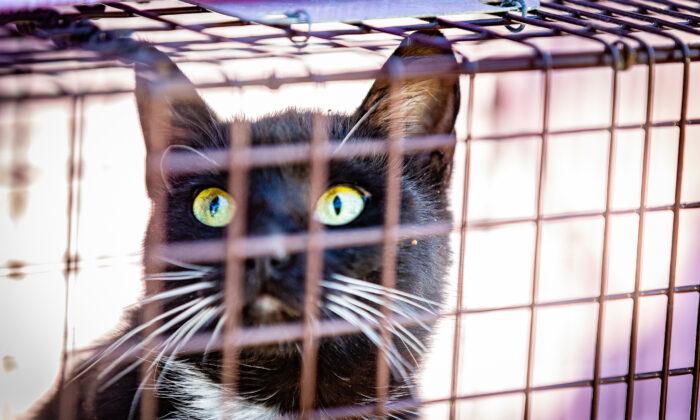 A feral cat sits in a cat trap in Garden Grove, Calif., on Feb. 19, 2021. (John Fredricks/The Epoch Times)