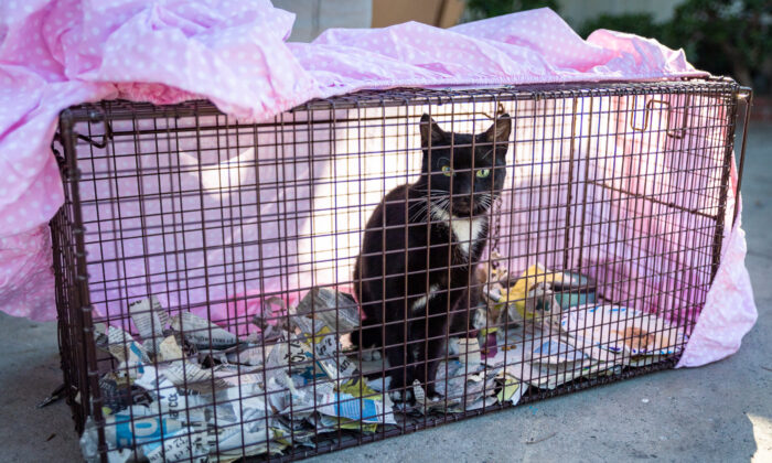 A feral cat sits in a cat trap in Garden Grove, Calif., on Feb. 19, 2021. (John Fredricks/The Epoch Times)