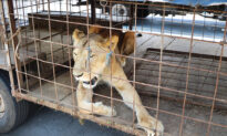 Circus Lioness Who Was Painfully Declawed Seemed Sure to Die, Until Rescuers Give Her a New Life