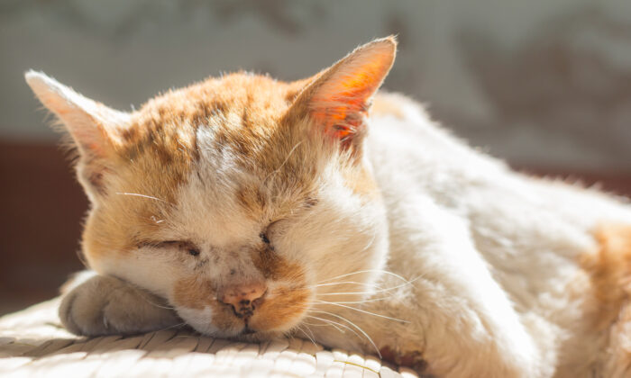 Hyperthyroidism, the most prevalent hormone imbalance in cats, becomes more common as cats age. Fortunately, many treatment options are available. (Suphaksorn Thongwongboot/Shutterstock)