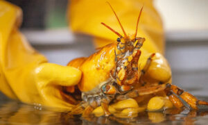 Lobsterman Catches Ultra-Rare Yellow Lobster, Dubbed 'Banana,' Deemed 1 in 30 Million Catch
