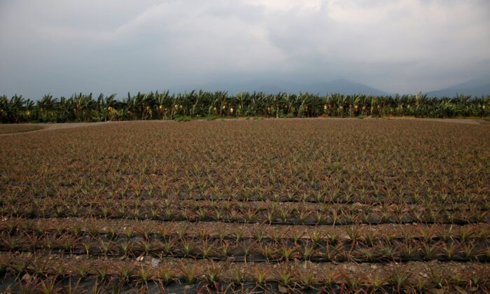 Pineapples are planted in a field in Pingtung, Taiwan April 27, 2016. (Tyrone Siu/Reuters File Photo)