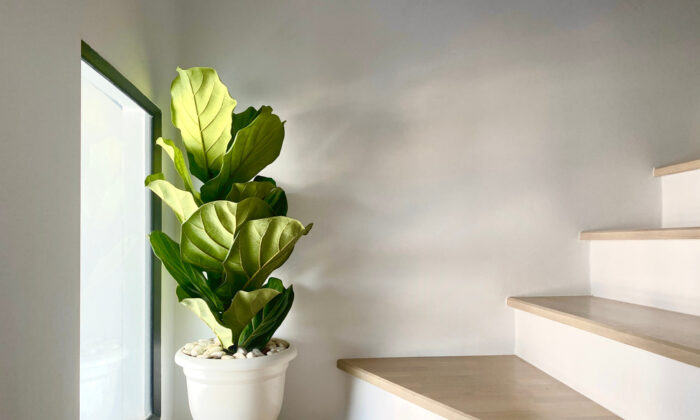 The fiddle leaf fig is a popular houseplant, despite its reputation for being a bit finicky. (Kowit Phatipreechakul/Shutterstock)