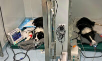 2 Border Collies Sent to ICU After Eating Moldy Waste Left on the Ground, Saved by Vets