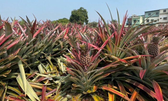 Pineapples grow in a field in Kaohsiung, Taiwan, on Feb. 27, 2021. (Ben Blanchard/File Photo/Reuters)