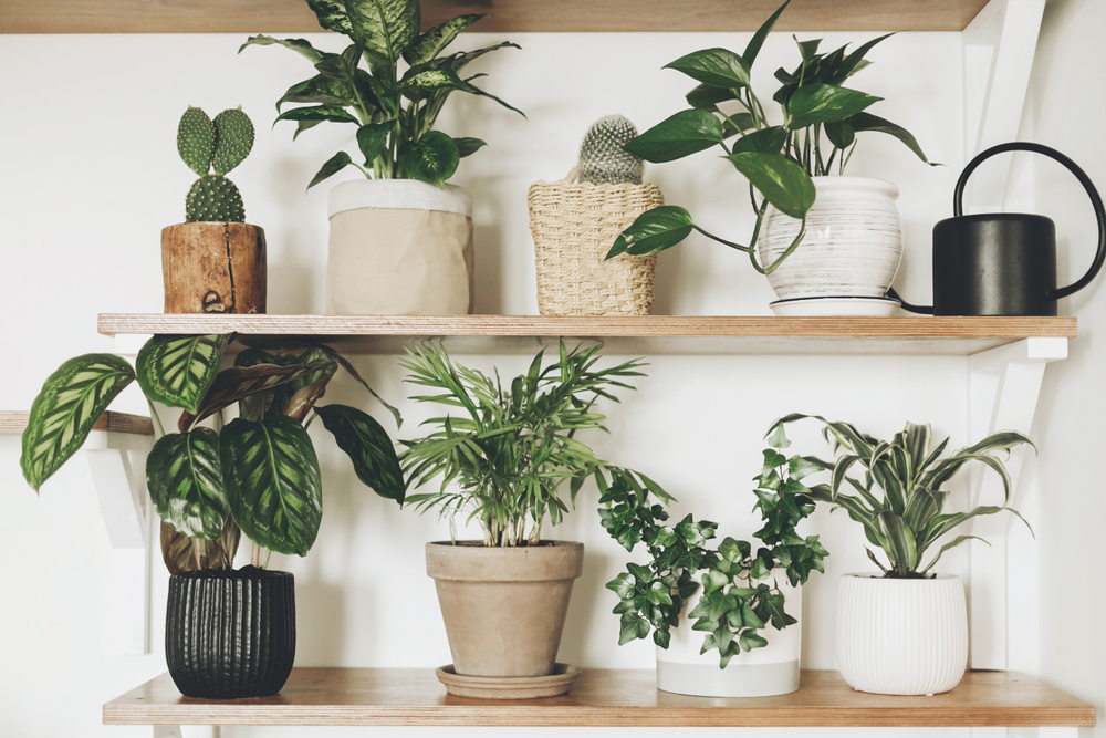 Stylish,Green,Plants,And,Black,Watering,Can,On,Wooden,Shelves.