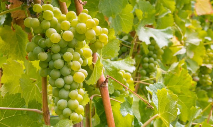 Sauvignon blanc is a noble grape variety, just as chardonnay is. (patjo/shutterstock)