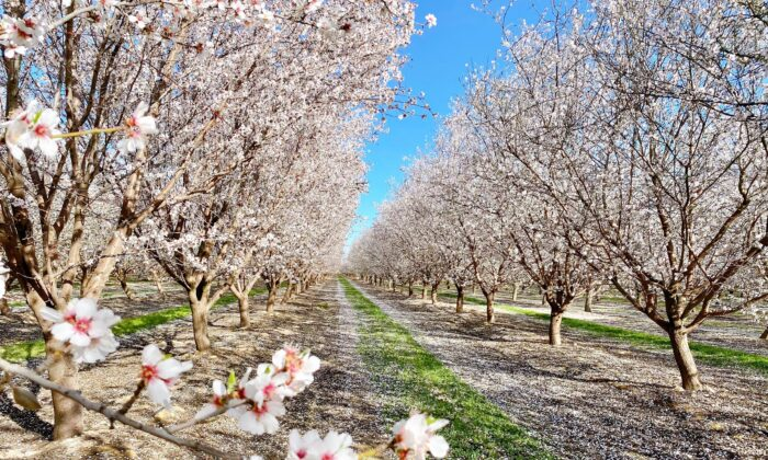 Rows of trees with white blossoms at the Fresno County Blossom Trail in Fresno, Calif., on Feb. 27, 2021. (Ilene Eng/The Epoch Times)