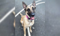 'Pretty Dim' Dognappers Try to Steal Highly-Trained Belgian Malinois, and Get Taught a Lesson