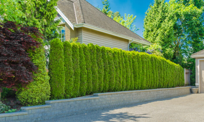 Evergreen trees will give you privacy the whole year. (romakoma/Shutterstock)