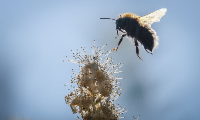 A bumblebee draws nectar from the flowers of a Sorbaria sorbifolia bush. (Yuri Kadobnov / AFP via Getty Images)