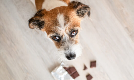 Ask the Vet: What to Do If Your Dog Eats Chocolate