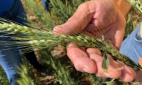 US White Wheat Growers Cash In as China Snaps Up Supplies