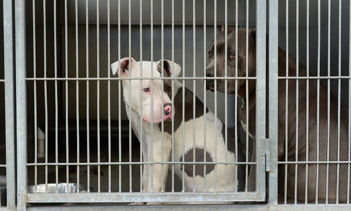 Pit bulls peer from their cage at the San Bernardino City Animal Shelter in this file photo. (Frederic J. Brown/AFP via Getty Images)