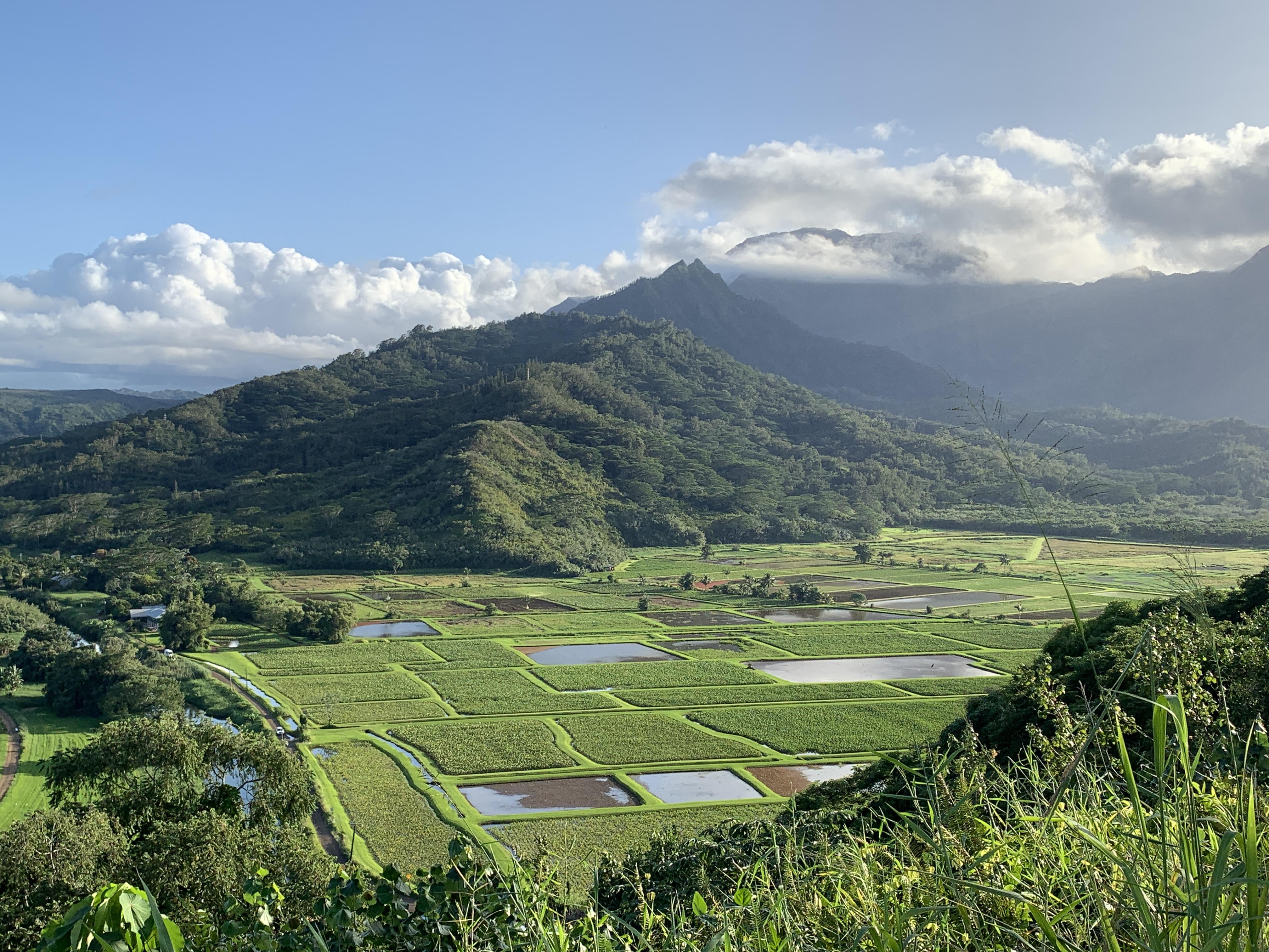 Taro fields in hanalei valley