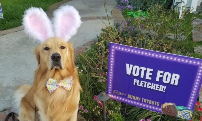 Fletcher, a 2-year-old golden retriever from Huntington Beach, is a finalist in a nationwide search for the next Cadbury bunny. (Courtesy of Ellen Kuhnert)