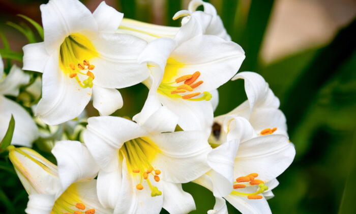 Lilies are extremely dangerous to cats—all parts of the plant cause kidney failure. (Dmitry Naumov/Shutterstock)