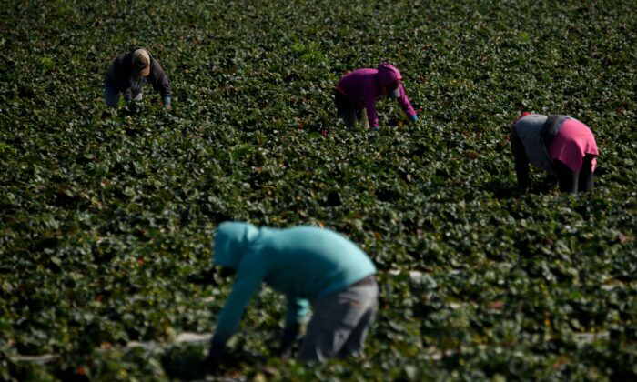 Farm workers tend to strawberries growing in a field in Ventura County, Calif., on Feb. 10, 2021. (Patrick T. Fallon/AFP via Getty Images)