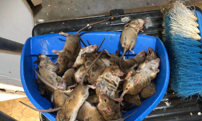 Dead mice are seen at a property in Coonamble in central west NSW, Australia, on Feb. 2, 2021. (AAP Image/Supplied by The Coonamble Times)