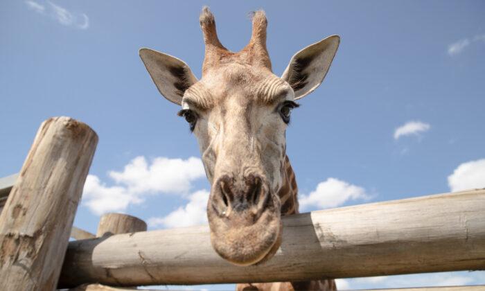 Eyelean the giraffe at Sydney Zoo in Sydney, Australia on Feb. 24, 2020. (Mark Kolbe/Getty Images)