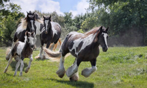 Bold & Beautiful Gypsy Vanner Horse Discovered in English Field Has the Allure of a Romance Novel