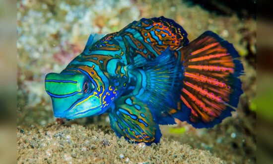 The Colorful 'Mandarinfish' May Be Beautiful, but Here's Why You Should Never Touch It