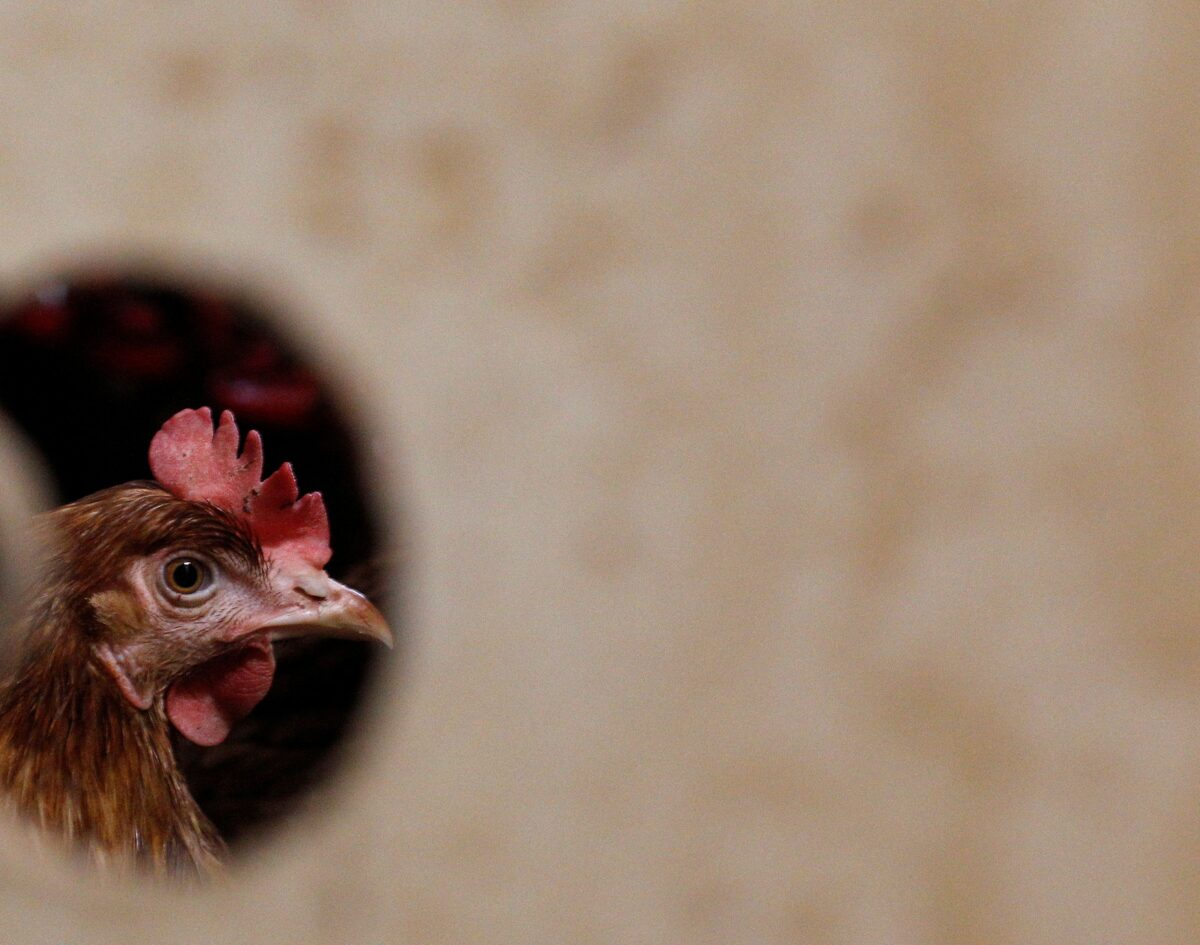 A hen is pictured at an ecological chicken farm in Tiefenbach