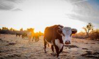 Praise the Graze: Where Angus Cattle Roam Free